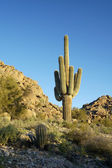 Saguaro Cactus 1 — Stock Photo