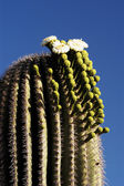 Saguaro Blossoms 3 — Stock Photo