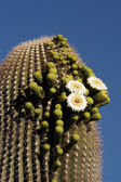 Saguaro Blossoms 4 — Stock Photo