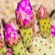 Stock Photo: Beavertail cactus blossoms