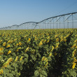 Irrigated sunflower field — Stock Photo