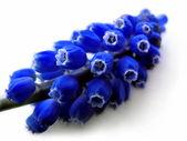 Muscari blue — Stock Photo
