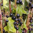 Picked Black currants — Stock Photo