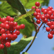 Red berries in summertime — Stock Photo