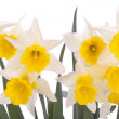 Daffodil flowers isolated over white — Stock Photo