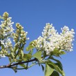 Stock Photo: Spring buds on tree detail and blue sky