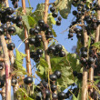 Black currants on branch - Stock Photo