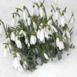 Stock Photo: Snowdrop flowers growing through snow