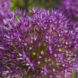 Stock Photo: Purple allium flower heads closeup
