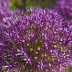 Purple allium flower heads closeup — Stock Photo