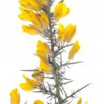 Yellow gorse flowers shrub over white — Stock Photo