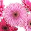 Pink Gerbera flowers isolated on white — Stock Photo