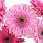 gerbera rosa flores isoladas em branco — Foto Stock
