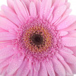 Pink Gerbera flower isolated on white — Stockfoto