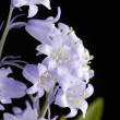 Bluebells flower isolated on black — Stock Photo