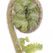 Stock Photo: Curled fern frond over white