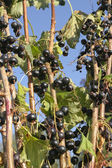 Black currants on branch — Stock Photo