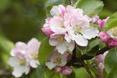 Pink Spring flowers closeup — Stock Photo
