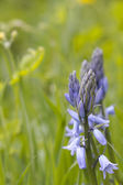 Bluebells in bright country grass field — Stock Photo