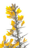 Yellow gorse flowers shrub over white — Stock Photo