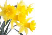 Beyaz bitti izole nergis çiçekleri — Stok fotoğraf