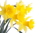 Daffodil flowers isolated over white — Stok fotoğraf