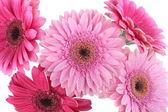 цветки розовые герберы, изолированные на белом фоне — Стоковое фото