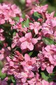 Pink flowers in spring — Stock Photo
