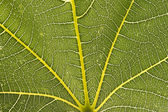 Leaf close up with veins — Stock Photo