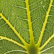 Fresh green leaf with veins — Stock Photo