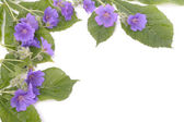 Purple violets flowers over white — Stock Photo