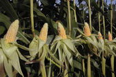 Ripe corn crop — Stock Photo