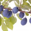 Plums on tree branch — Stock Photo