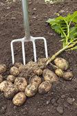 Freshly dug potatoes — Stock Photo