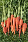 Freshly dug out carrots — Stock Photo