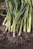 Freshly dug out leeks — Stock Photo