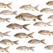 Carp fish backround over white — Stock Photo