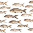 Stock Photo: Carp fish backround over white