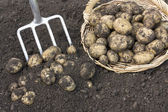 Freshly dug potatoes — Stock Photo