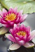 Pink waterlily flowers — Stock Photo