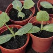 Vegetable seedlings closeup  in pots - Stock Photo