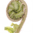 Curled fern frond detail - Stock Photo