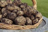 Freshly dug potatoes crop — Stock Photo