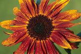 Sunflower stem bloom in summer — Stock Photo