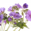 Purple flowers over white background — Stock Photo