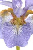 Iris morado closeup flores sobre fondo blanco — Foto de Stock