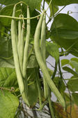 Ripe French green beans growing on vines detail — Stock Photo