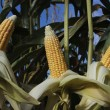 Ripe corn cob crop field — Stock Photo #3441198