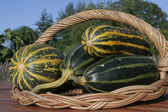 Ripe squash vegetables on willow basket — Stock Photo