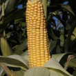 Ripe corn cob closeup growing in sun — Stock Photo
